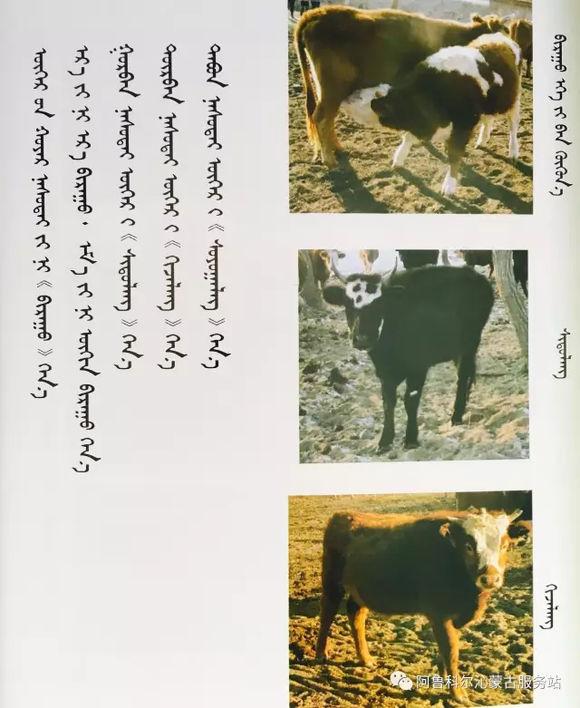 应知的蒙古五畜知识---牛 第3张