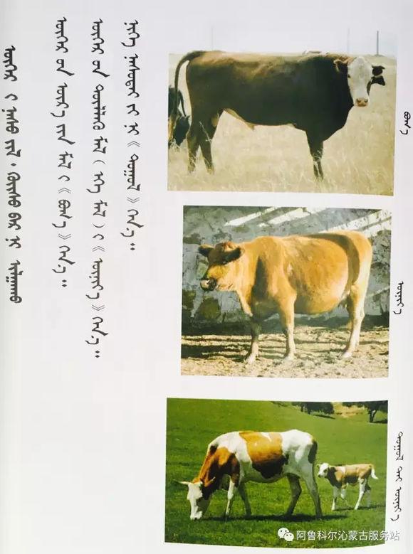 应知的蒙古五畜知识---牛 第2张