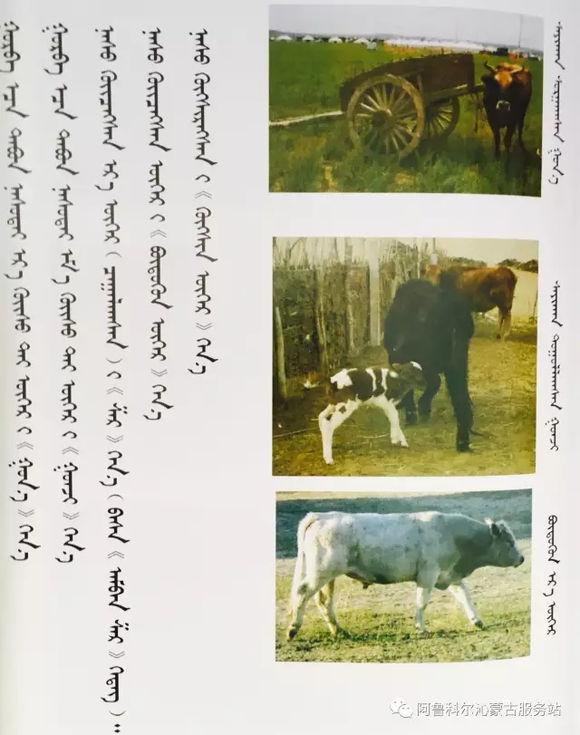 应知的蒙古五畜知识---牛 第5张