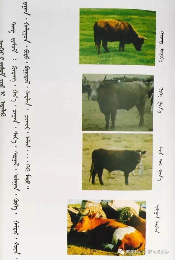 应知的蒙古五畜知识---牛 第6张