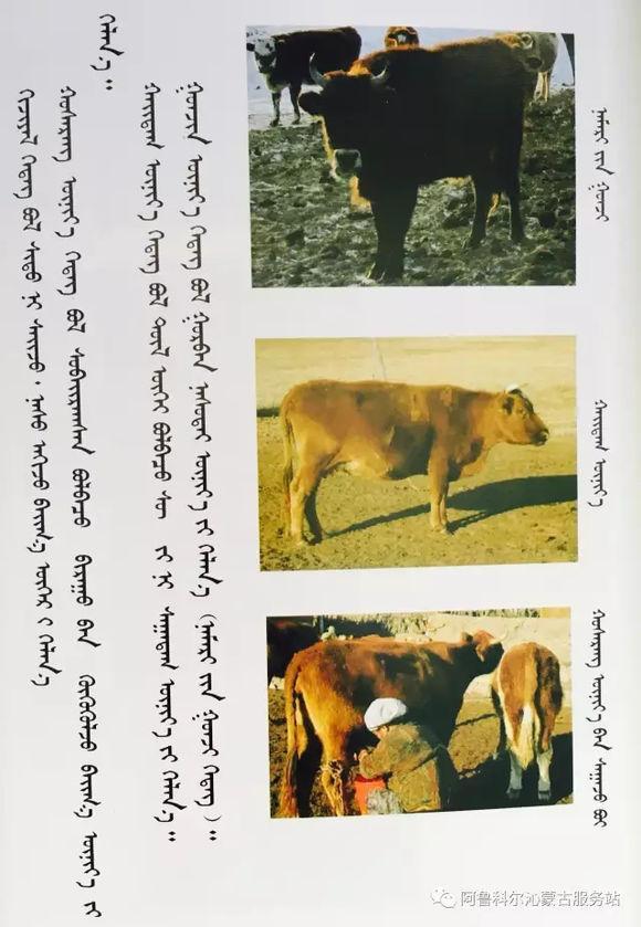 应知的蒙古五畜知识---牛 第7张