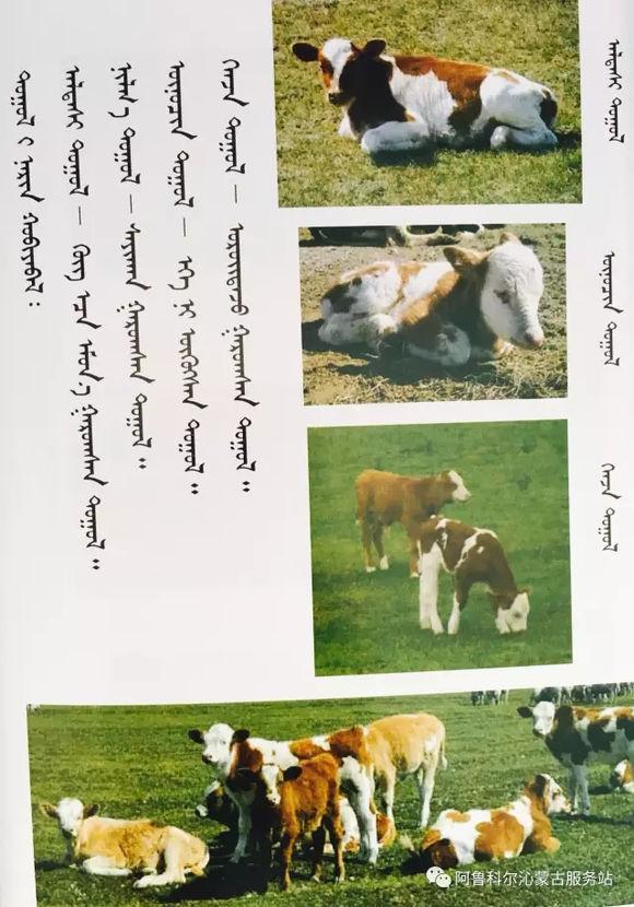 应知的蒙古五畜知识---牛 第4张