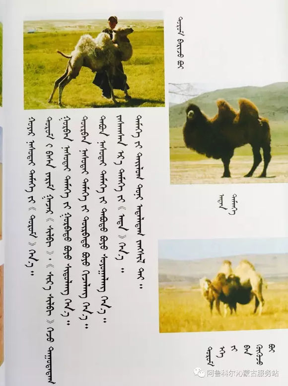 应知的蒙古五畜知识--骆驼 第1张