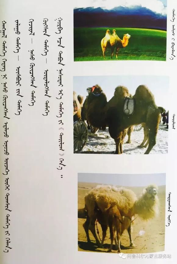 应知的蒙古五畜知识--骆驼 第2张
