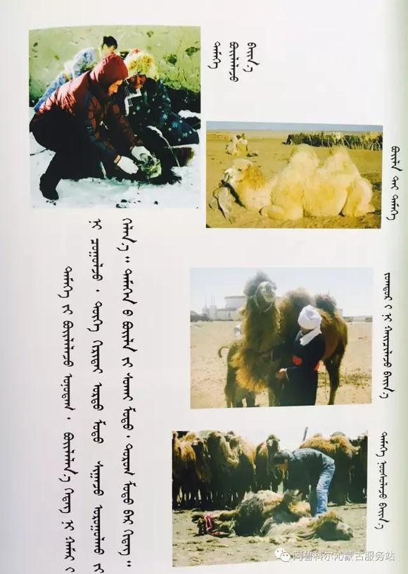 应知的蒙古五畜知识--骆驼 第5张