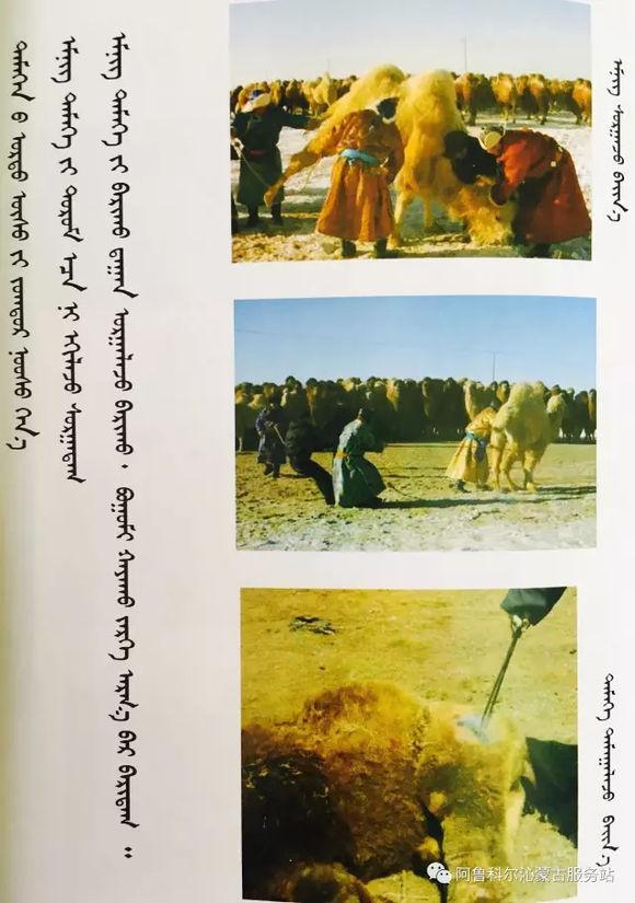 应知的蒙古五畜知识--骆驼 第4张