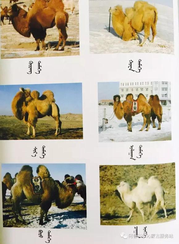 应知的蒙古五畜知识--骆驼 第7张