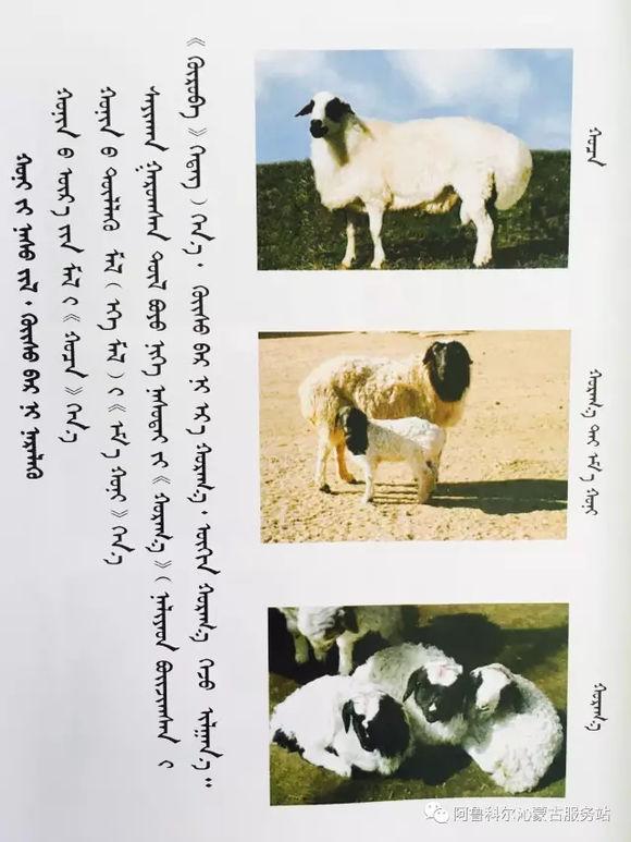 应知的蒙古五畜知识--绵羊(图文) 第2张