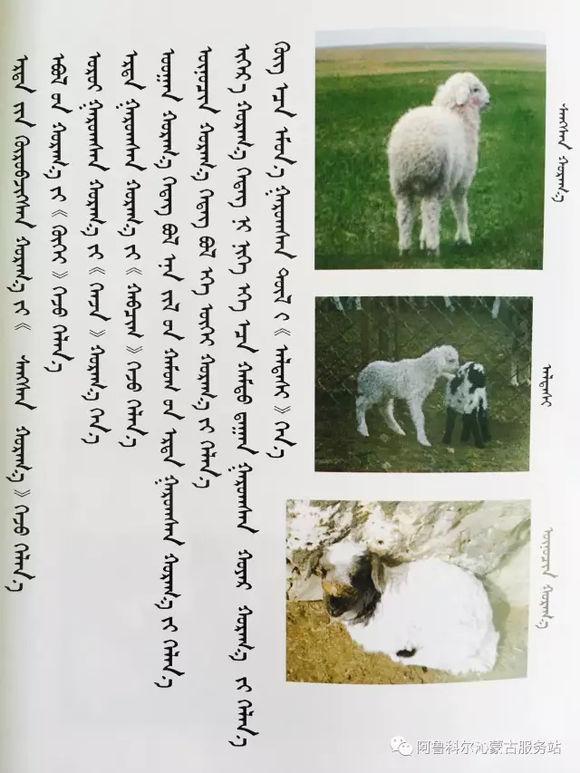 应知的蒙古五畜知识--绵羊(图文) 第1张