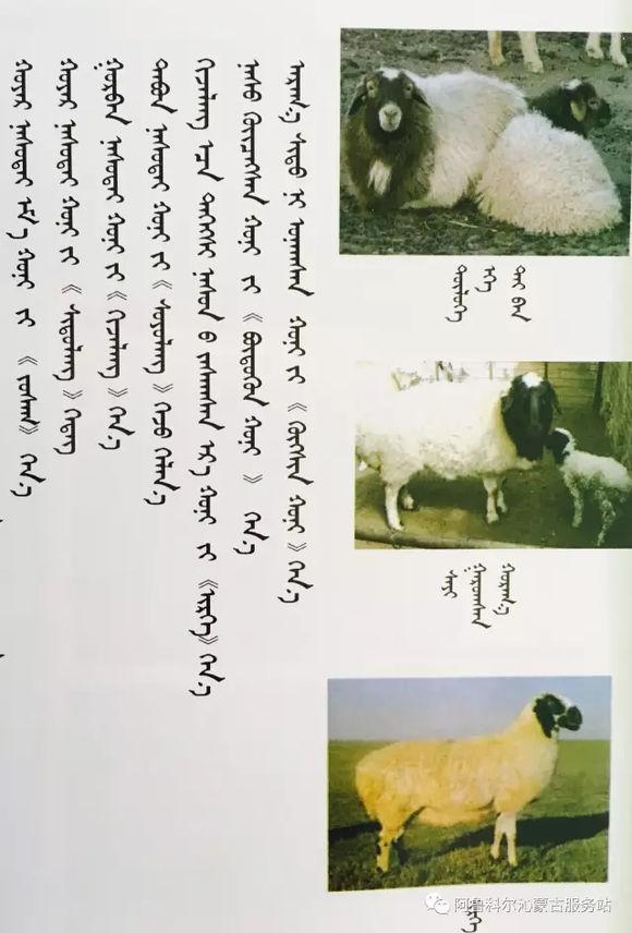 应知的蒙古五畜知识--绵羊(图文) 第4张