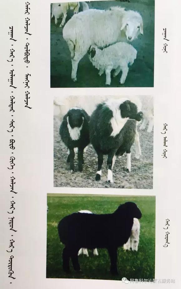 应知的蒙古五畜知识--绵羊(图文) 第3张