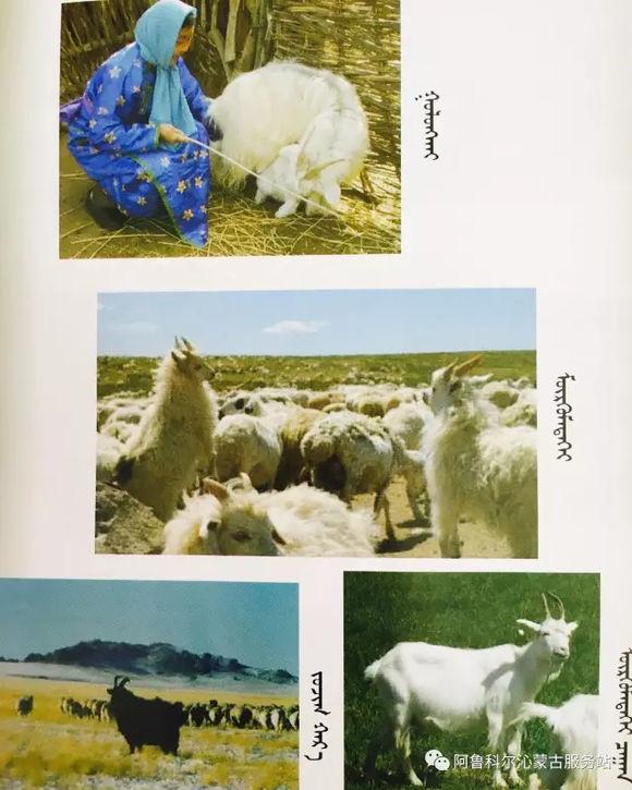 应知的蒙古五畜知识--山羊(图文) 第7张
