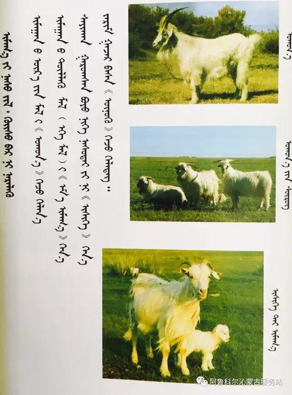 应知的蒙古五畜知识--山羊(图文) 第2张