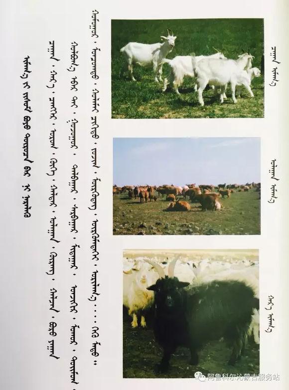 应知的蒙古五畜知识--山羊(图文) 第3张