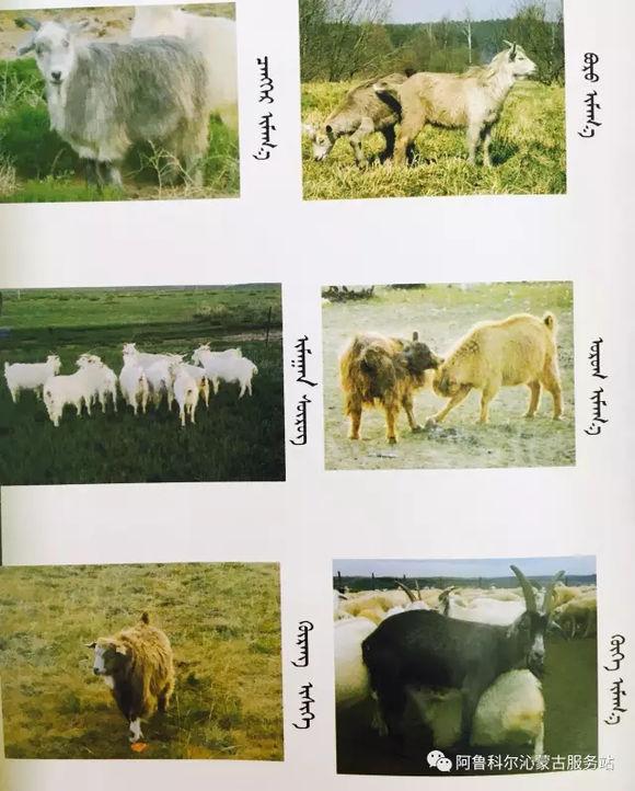 应知的蒙古五畜知识--山羊(图文) 第4张