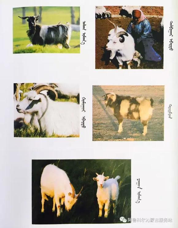 应知的蒙古五畜知识--山羊(图文) 第6张