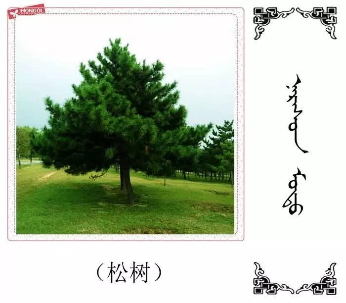 54种树木的名字,双语解释(蒙古文 汉语) 第2张