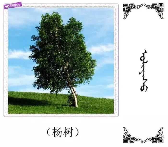54种树木的名字,双语解释(蒙古文 汉语) 第3张