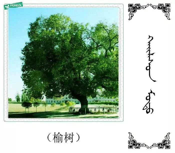 54种树木的名字,双语解释(蒙古文 汉语) 第5张