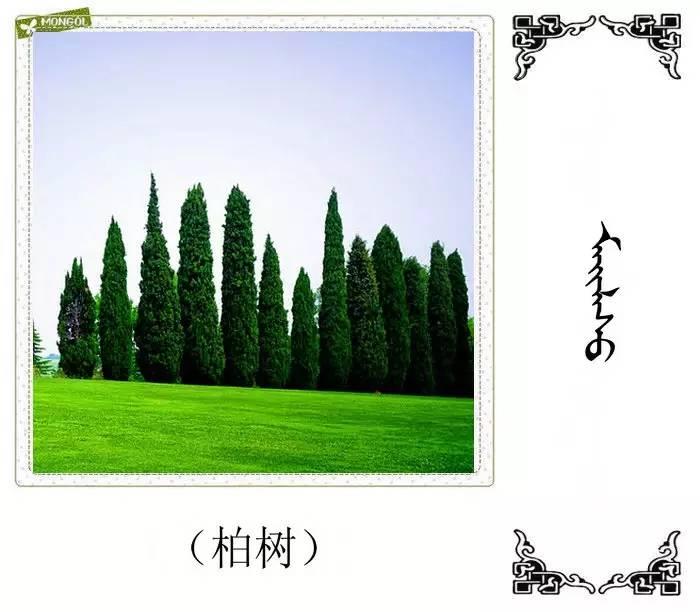 54种树木的名字,双语解释(蒙古文 汉语) 第6张