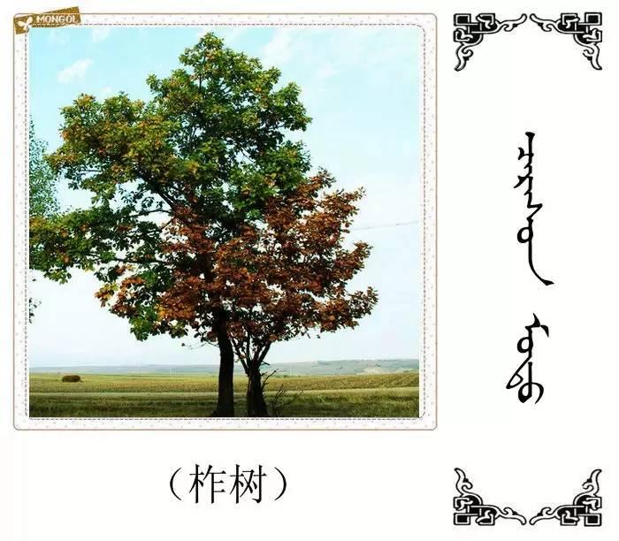 54种树木的名字,双语解释(蒙古文 汉语) 第7张