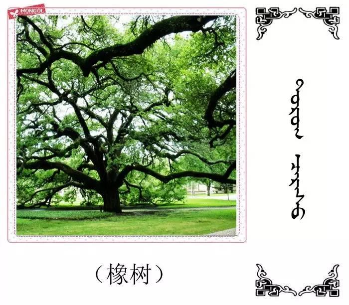 54种树木的名字,双语解释(蒙古文 汉语) 第8张