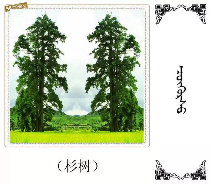 54种树木的名字,双语解释(蒙古文 汉语) 第12张