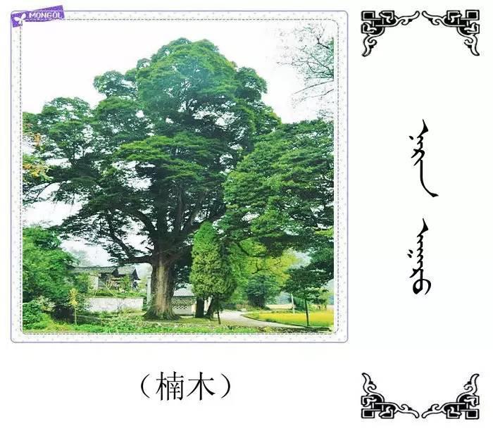 54种树木的名字,双语解释(蒙古文 汉语) 第9张