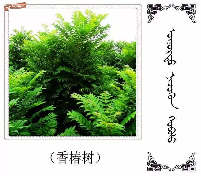 54种树木的名字,双语解释(蒙古文 汉语) 第18张