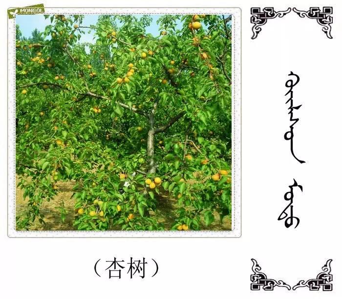 54种树木的名字,双语解释(蒙古文 汉语) 第17张