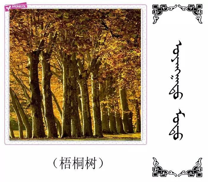 54种树木的名字,双语解释(蒙古文 汉语) 第20张