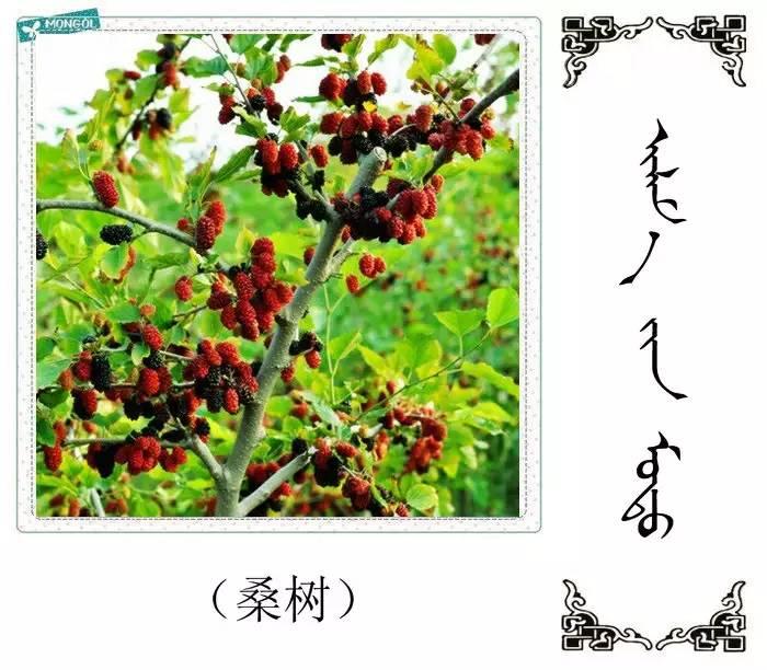 54种树木的名字,双语解释(蒙古文 汉语) 第16张