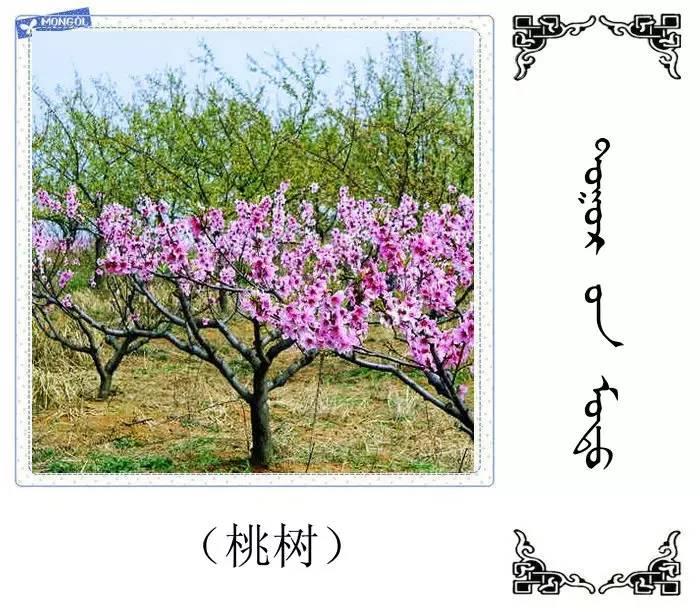 54种树木的名字,双语解释(蒙古文 汉语) 第15张