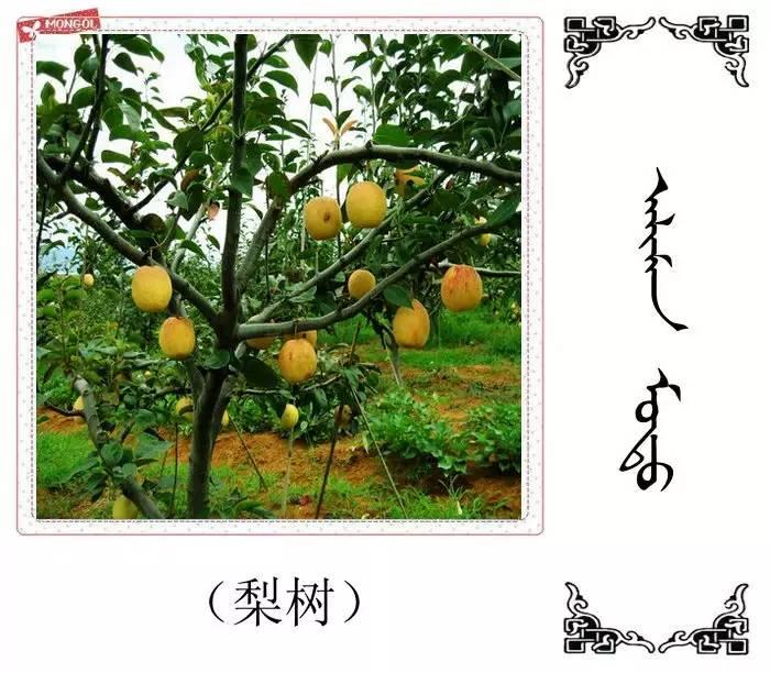 54种树木的名字,双语解释(蒙古文 汉语) 第19张