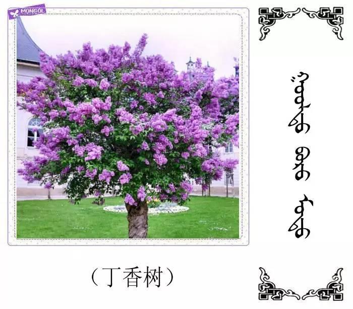 54种树木的名字,双语解释(蒙古文 汉语) 第21张