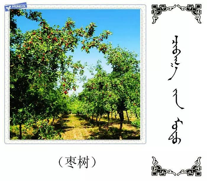 54种树木的名字,双语解释(蒙古文 汉语) 第22张