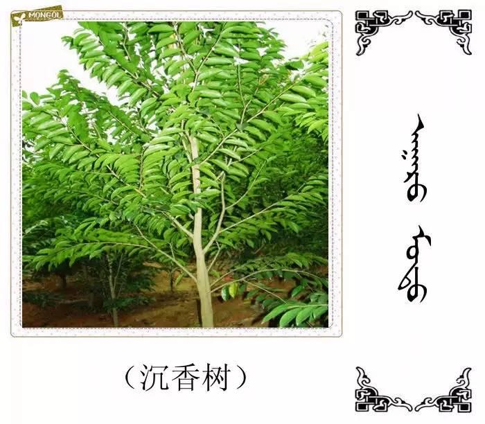 54种树木的名字,双语解释(蒙古文 汉语) 第24张