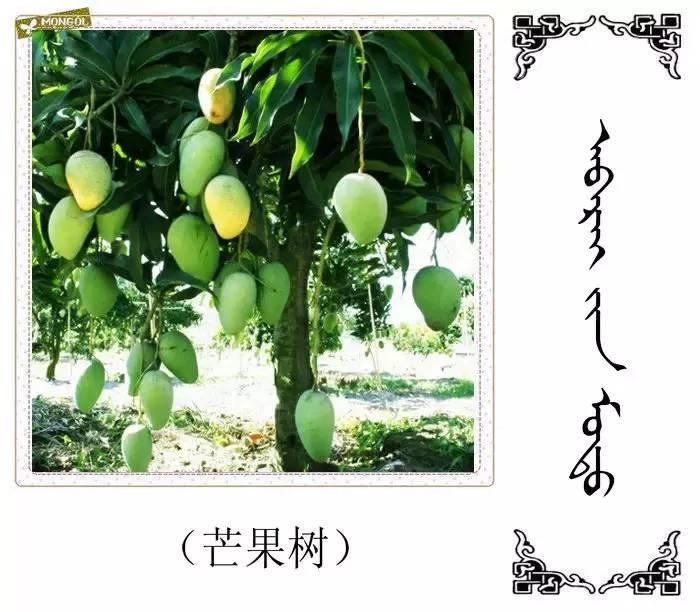 54种树木的名字,双语解释(蒙古文 汉语) 第30张