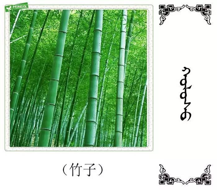 54种树木的名字,双语解释(蒙古文 汉语) 第29张