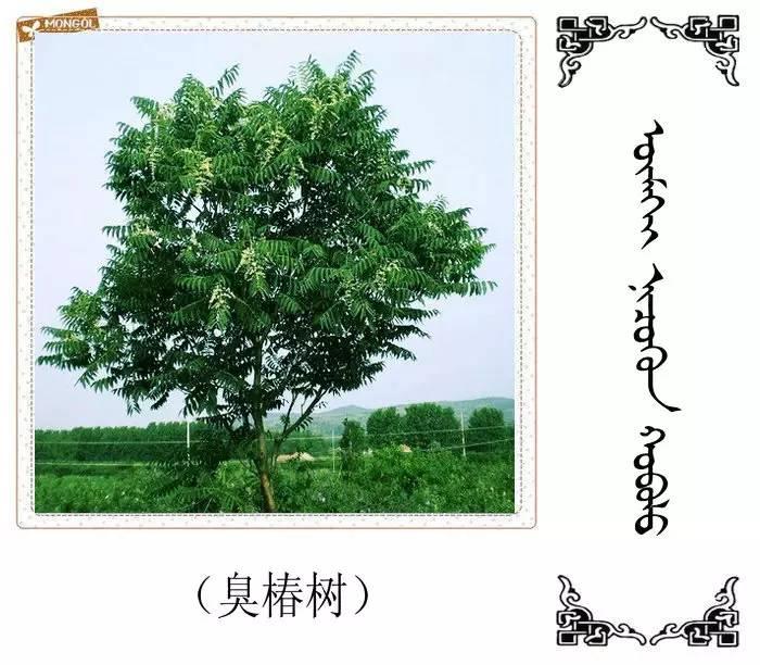 54种树木的名字,双语解释(蒙古文 汉语) 第31张