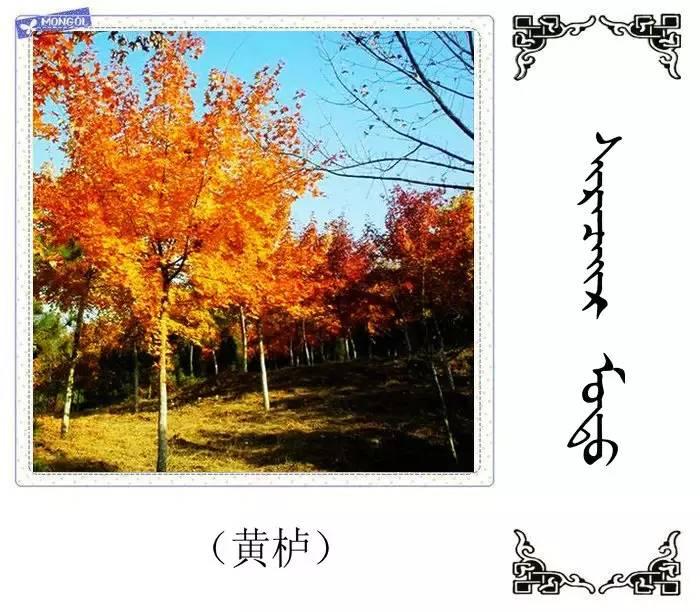 54种树木的名字,双语解释(蒙古文 汉语) 第34张