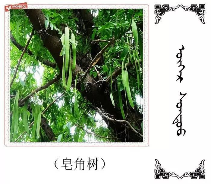 54种树木的名字,双语解释(蒙古文 汉语) 第37张