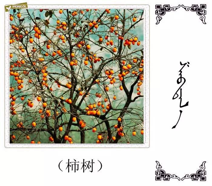 54种树木的名字,双语解释(蒙古文 汉语) 第36张