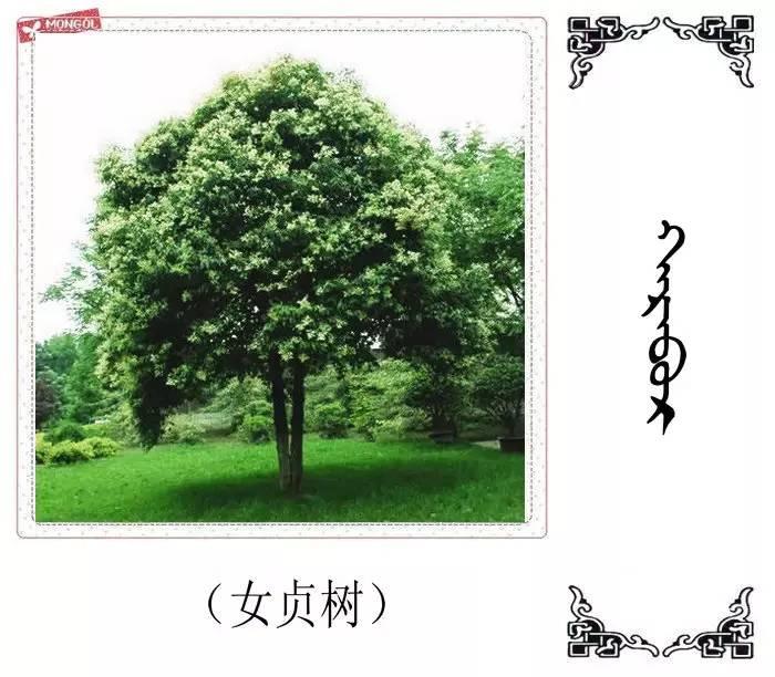 54种树木的名字,双语解释(蒙古文 汉语) 第32张