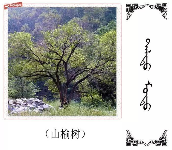 54种树木的名字,双语解释(蒙古文 汉语) 第40张