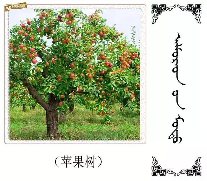 54种树木的名字,双语解释(蒙古文 汉语) 第39张