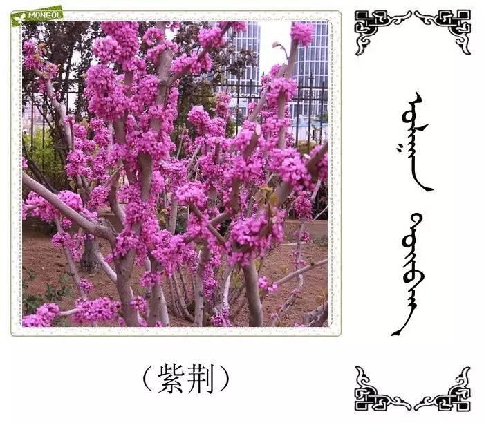 54种树木的名字,双语解释(蒙古文 汉语) 第38张
