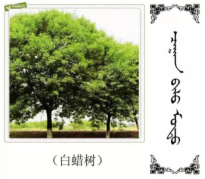 54种树木的名字,双语解释(蒙古文 汉语) 第45张