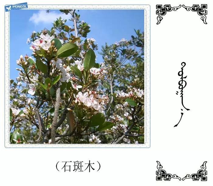 54种树木的名字,双语解释(蒙古文 汉语) 第43张
