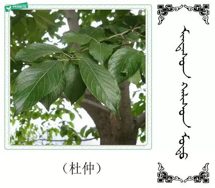 54种树木的名字,双语解释(蒙古文 汉语) 第44张